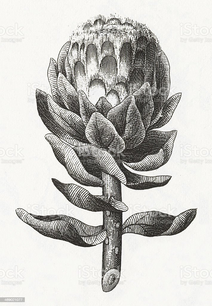 Artichoke Plant Engraving vector art illustration
