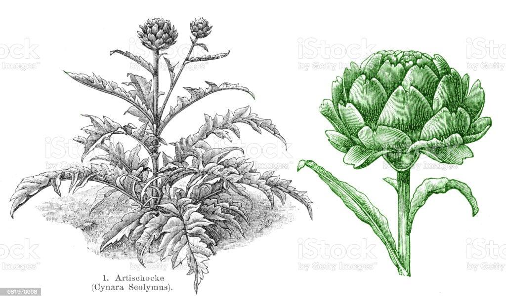 Artichoke vegetables engraving 1895 vector art illustration