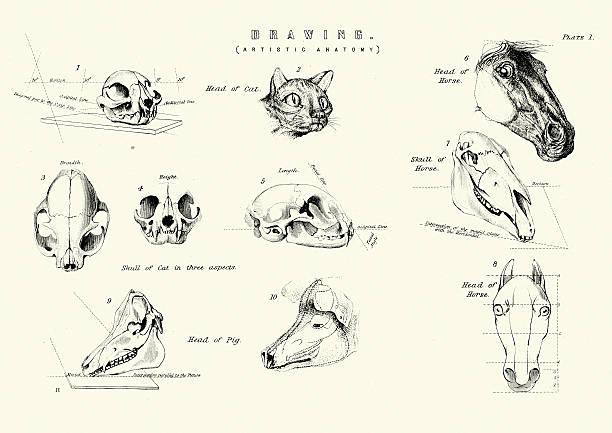 artistic anatomy - animal heads and skulls - animal skull stock illustrations