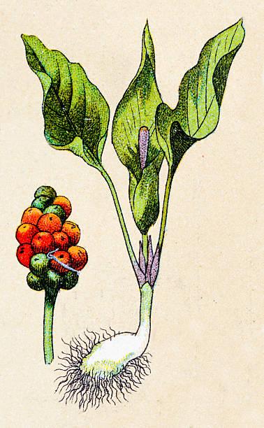 Arum maculatum, plantes antiquités illustration - Illustration vectorielle