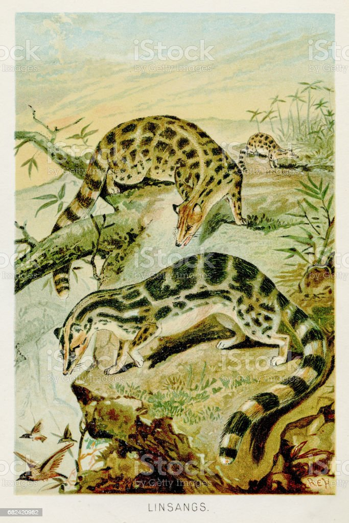 Asiatic linsang lithograph 1894 royalty-free asiatic linsang lithograph 1894 stock vector art & more images of animal