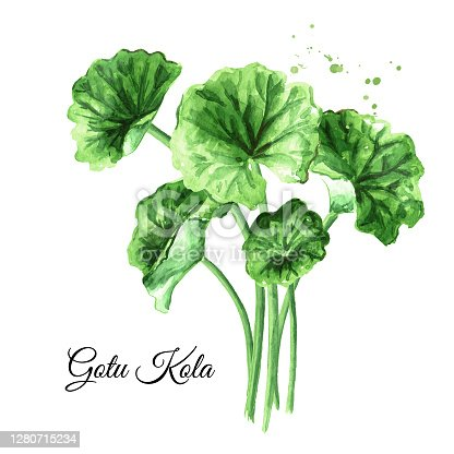 Asiatic plant gotu kola leaves, centella asiatica, ayurveda herbal medicine against cancer. Watercolor hand drawn illustration, isolated on white background