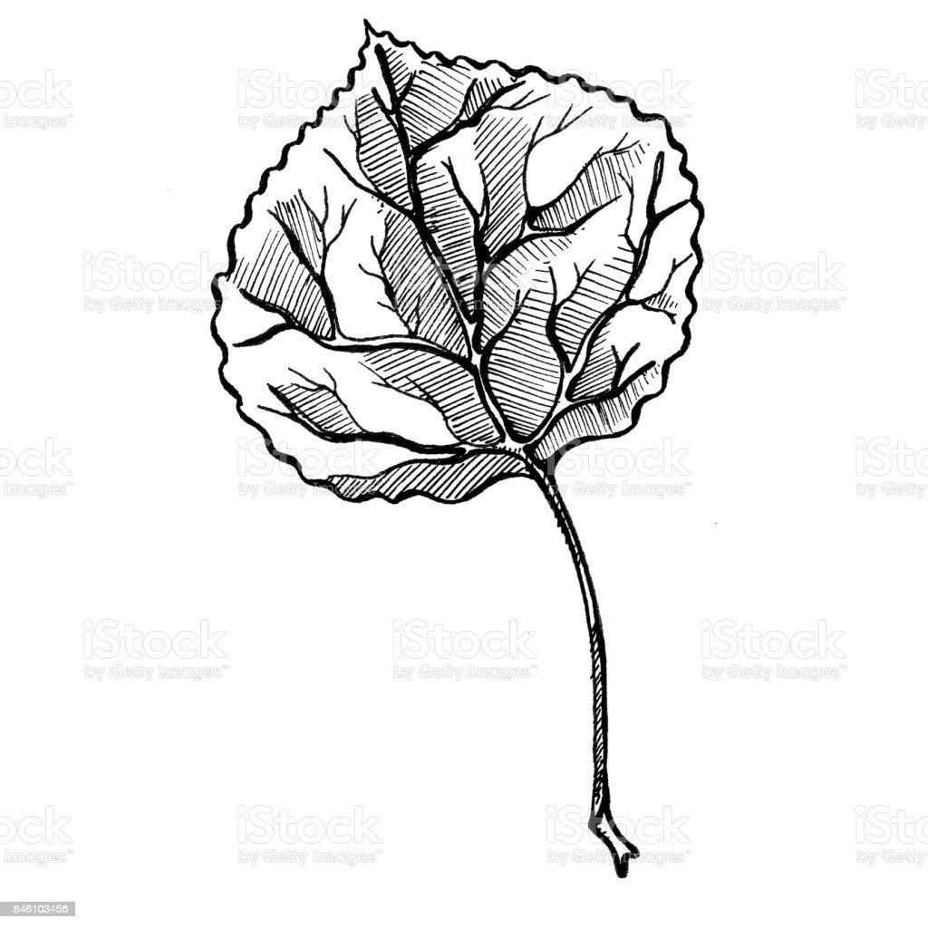 Aspen Leaf vector art illustration
