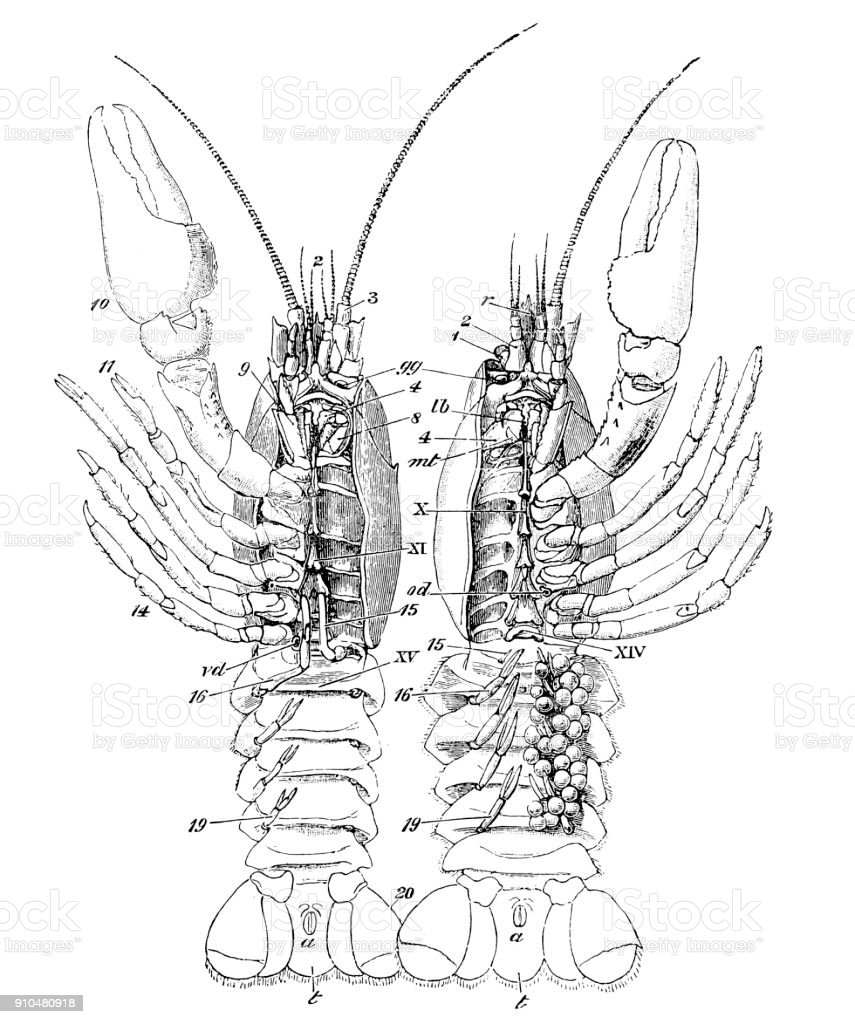Astacus Astacus The European Crayfish Noble Crayfish Or