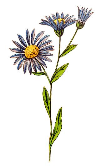 Illustration of a Aster amellus, the European Michaelmas-daisy
