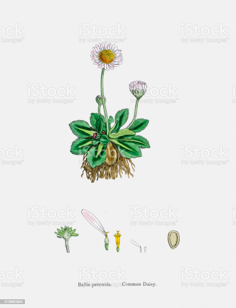 Aster Daisy Fleabane plant 19th century illustration vector art illustration