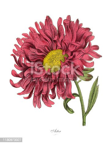 Very Rare, Beautifully Illustrated Antique Engraved Victorian Botanical Illustration of Aster or Star Plant, Published in 1886. Source: Original edition from my own archives. Copyright has expired on this artwork. Digitally restored.