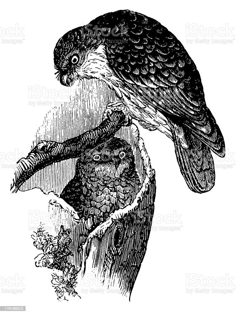 Athene conneviens | Antique Bird Illustrations vector art illustration