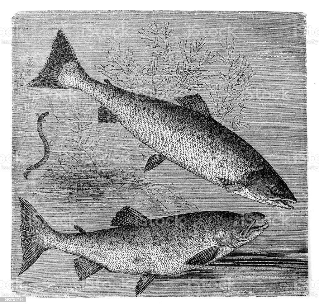 Atlantic salmon (salmo salar) and brown trout (S. trutta) vector art illustration