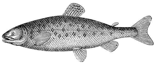 Atlantic salmon (Salmo salar), antique black and white illustration vector art illustration
