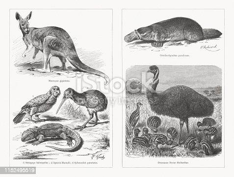Australian and New Zealand animals, left: Eastern grey kangaroo Macropus giganteus. Bottom: 1) Kakapo (Strigops habroptilus), 2) North Island brown kiwi (Apteryx Mantelli), 3) Tuatara (Sphenodon punctatus). Right: Platypus (Ornithorhynchus anatinus, or Ornithorhynchus paradoxus), Emu (Dromaius novaehollandiae). Wood engravings, published in 1897.