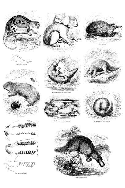 bildbanksillustrationer, clip art samt tecknat material och ikoner med australian mammal illustrations - platypus