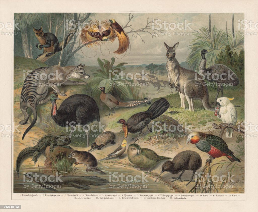 Australian wildlife, lithograph, published in 1897 vector art illustration
