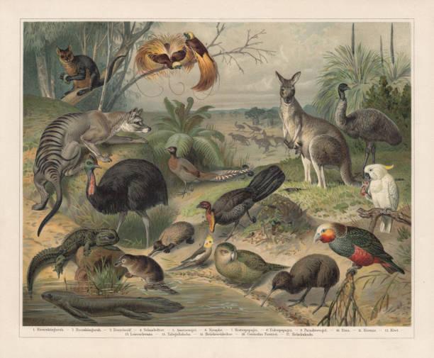bildbanksillustrationer, clip art samt tecknat material och ikoner med australian wildlife, litografi, utkom 1897 - platypus