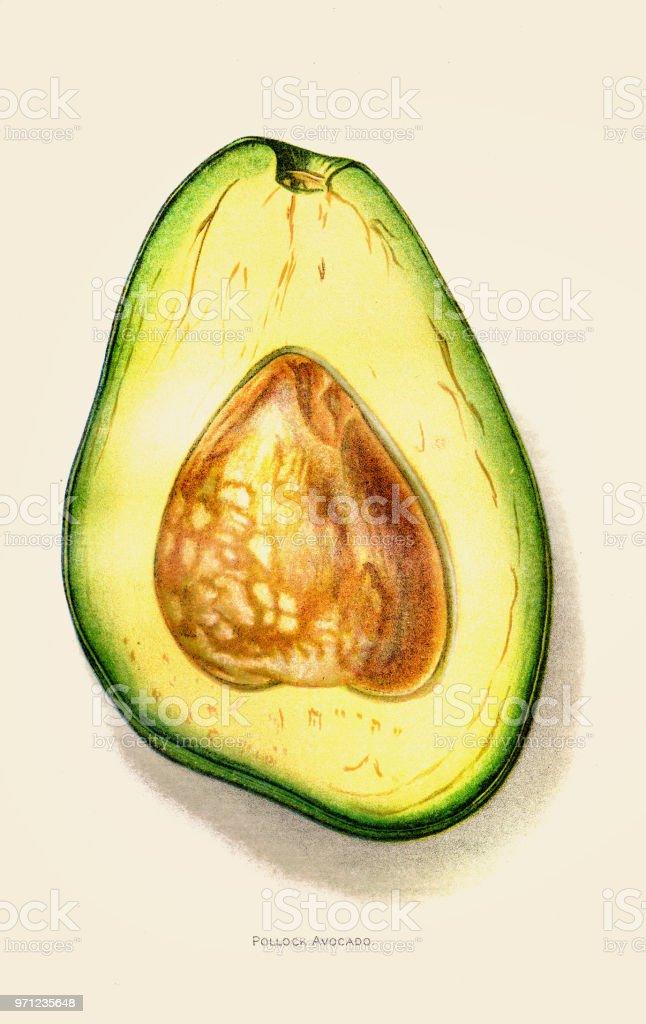 Avocado illustration 1892 vector art illustration