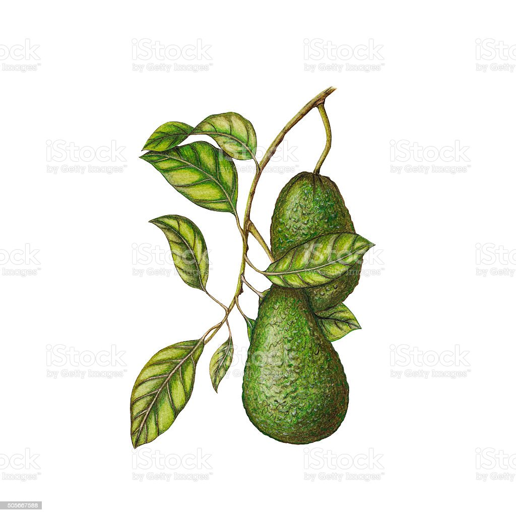 Avocado illustration vector art illustration