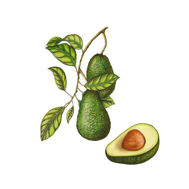 Avocado illustration Watercolor botanical illustration of avocado avocado clipart stock illustrations