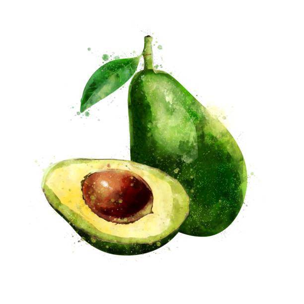 Avocado on white background. Watercolor illustration Avocado, isolated hand-painted illustration on a white background avocado stock illustrations