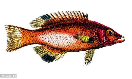 Antique illustration of a Axilspot hogfish (Cossyphus axillaris)