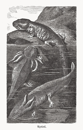 Axolotl, neotenic salamander from Mexico, wood engraving, published in 1893