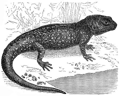 Axolotl or a Mexican walking fish or Mexican salamander (Ambystoma mexicanum)