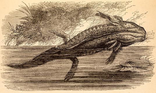 Axolotl walking fish, 19 century science illustration