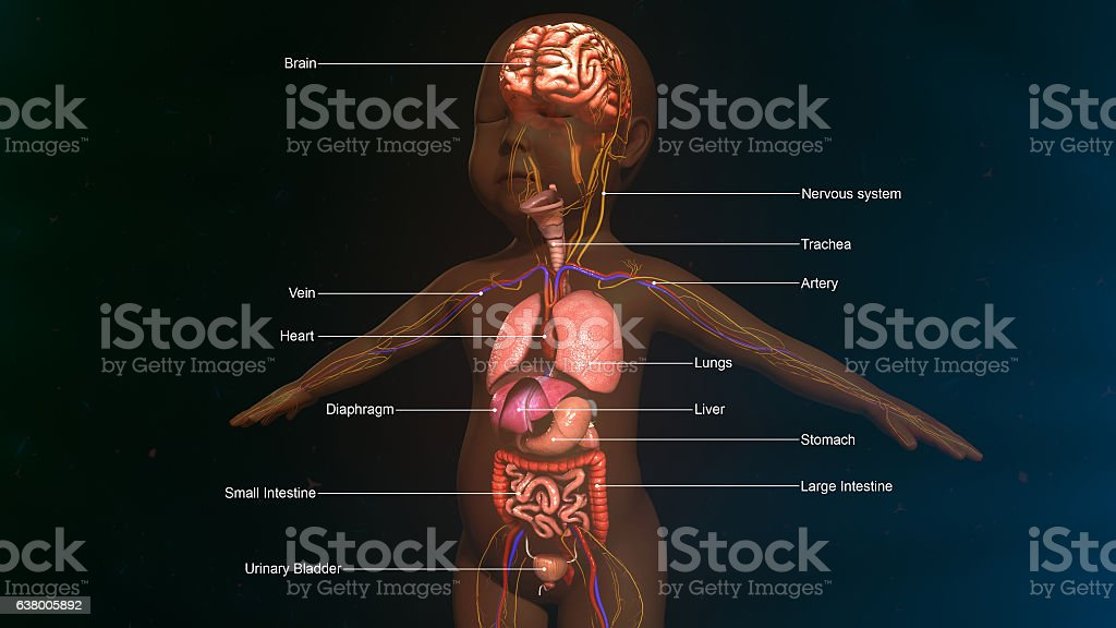 Baby Digestive System Anatomy Stock Vector Art & More ...