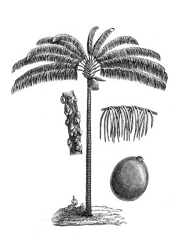 Bacaba or palma milpesos or just milpesos (oenocarpus distichus)