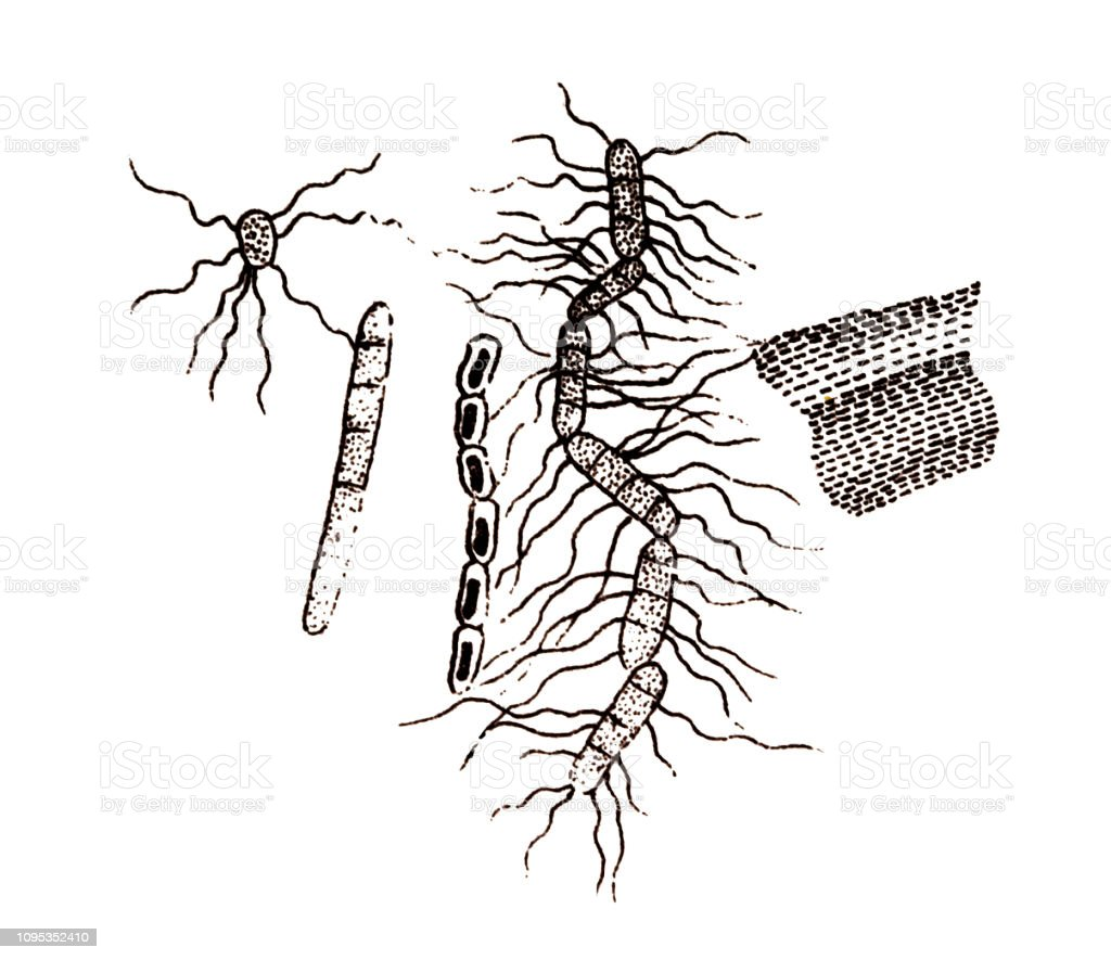Bacillus subtilis, known also as the hay bacillus or grass bacillus vector art illustration