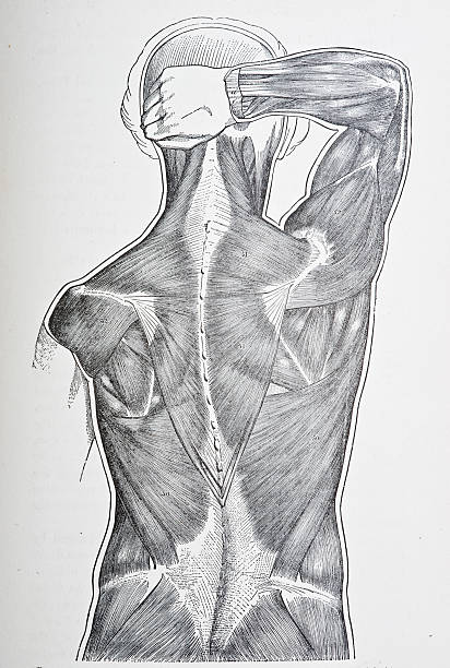 Back Muscles http://thebrainstormlab.com/banners/ami_banner.jpg medical diagram stock illustrations