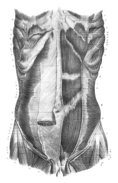 Back torso anatomy engraving 1866 vector art illustration