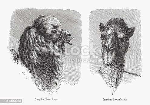 istock Bactrian camel and Dromedary, wood engravings, published in 1893 1281300038