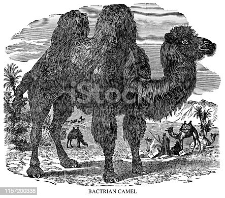 Bactrian Camel  - Scanned 1897 Engraving