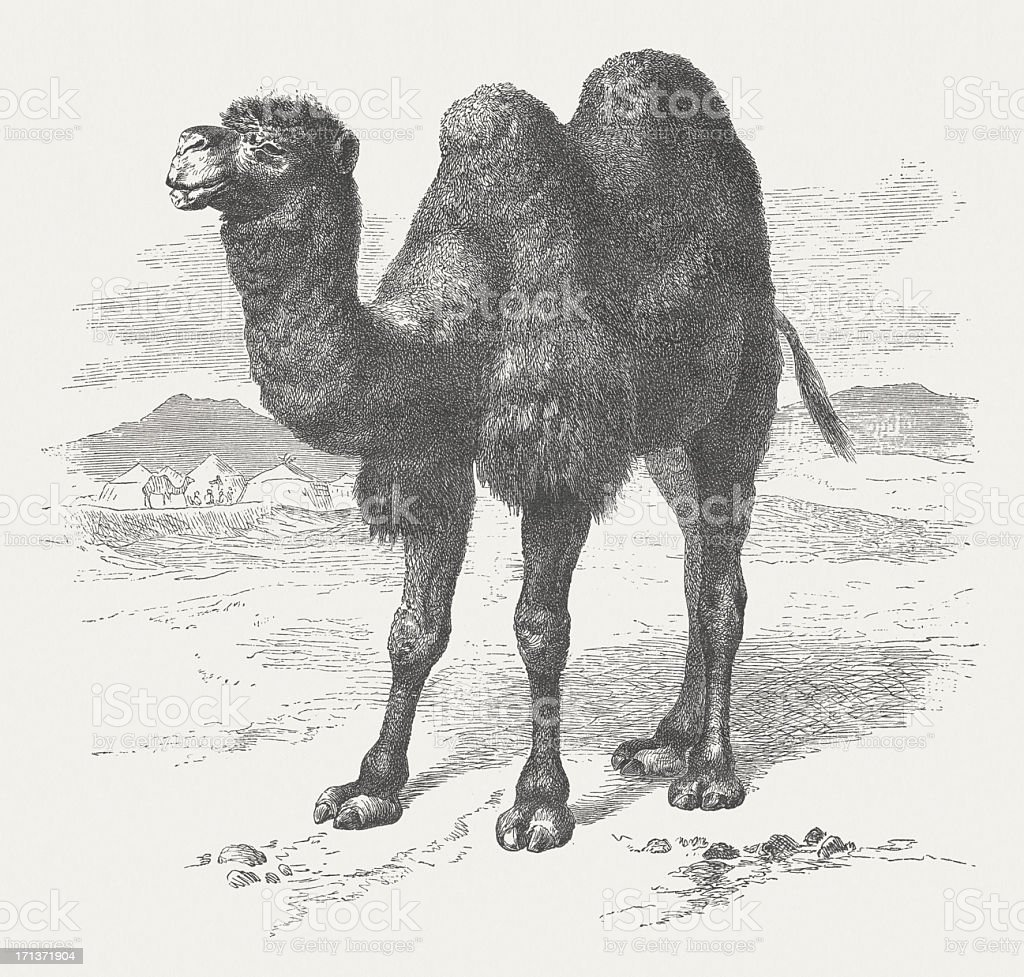 Bactrian camel (Camelus ferus), wood engraving, published in 1875 royalty-free stock vector art