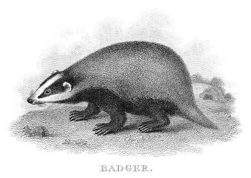 Badger engraving 1812