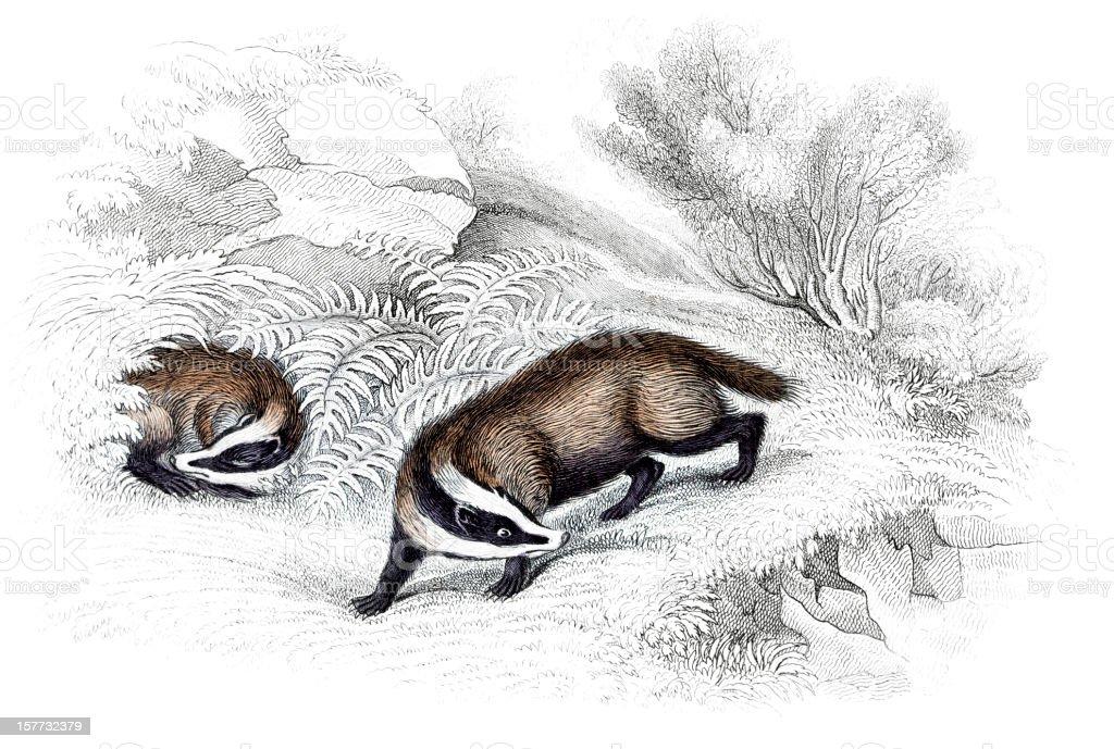 Badger - Hand Coloured Engraving vector art illustration