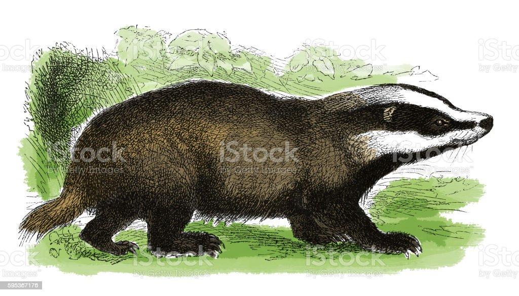 Badger (antique engraving) vector art illustration