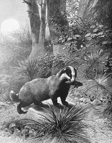 Badger with prey in its mouth