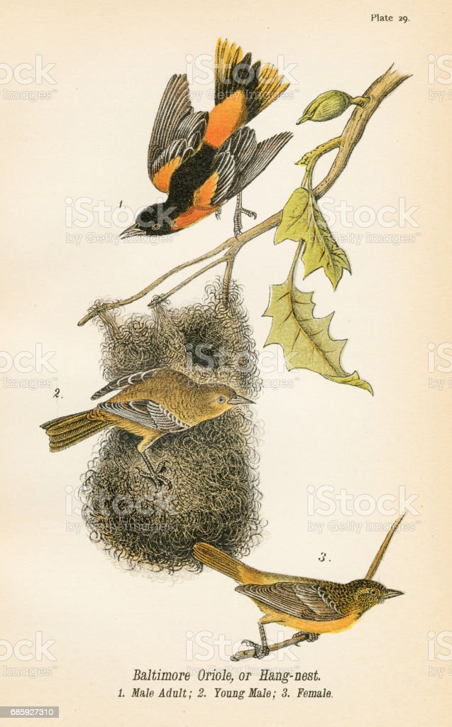 Baltimore oriole bird lithograph 1890 vector art illustration