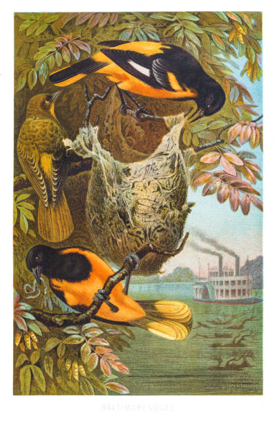 Baltimore oriole illustration 1882 vector art illustration