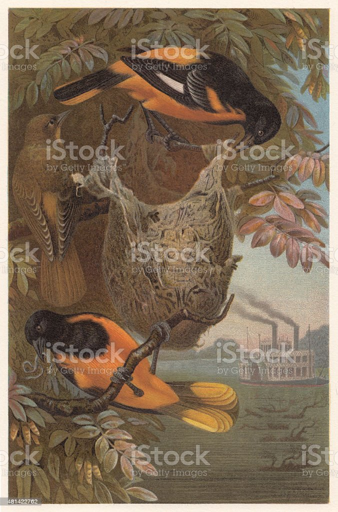 Baltimore oriole (Icterus galbula), lithograph, published in 1882 vector art illustration