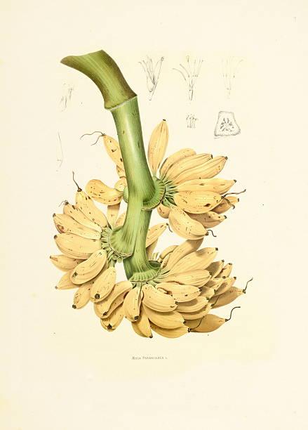Banana | Antique Plant Illustrations vector art illustration