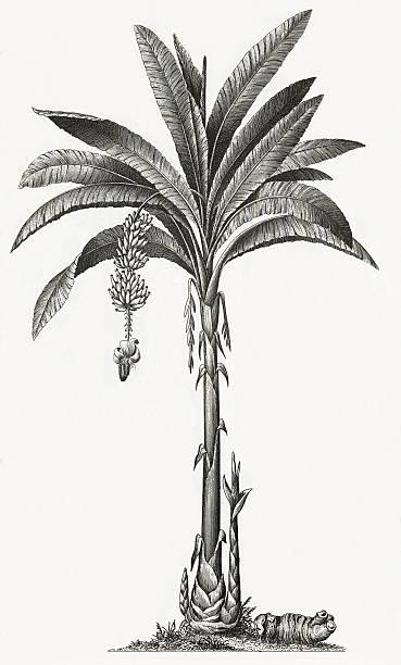 Banana Tree Engraving vector art illustration