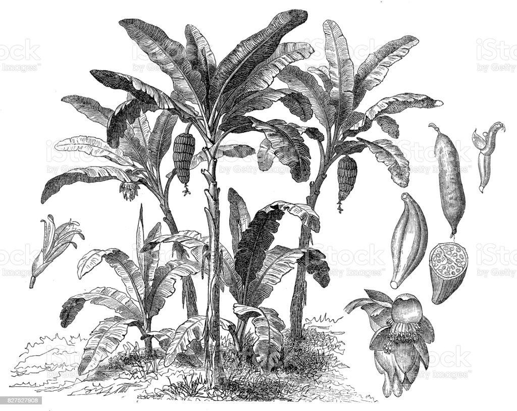Banana tree (musa paradisiaca) vector art illustration