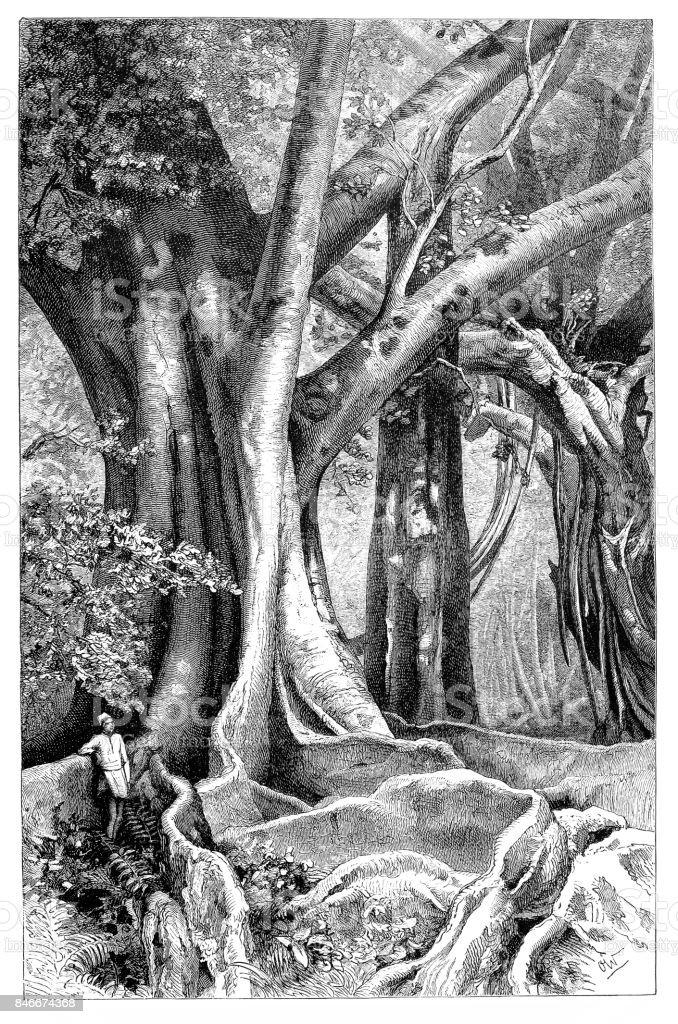 Banyan tree (Ficus Indica) and Rubber plant (Ficus elastica) vector art illustration