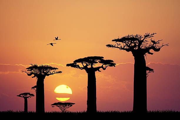 baobab Silueta al atardecer - ilustración de arte vectorial
