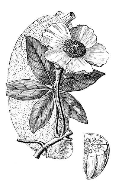 Baobab (Adansonia - ilustración de arte vectorial