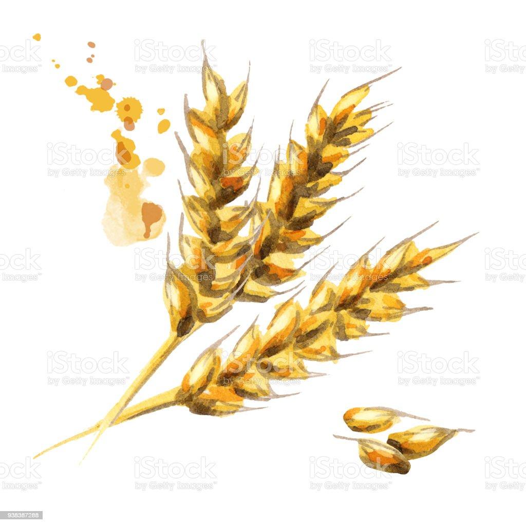 Barley. Malt. Watercolor vector art illustration
