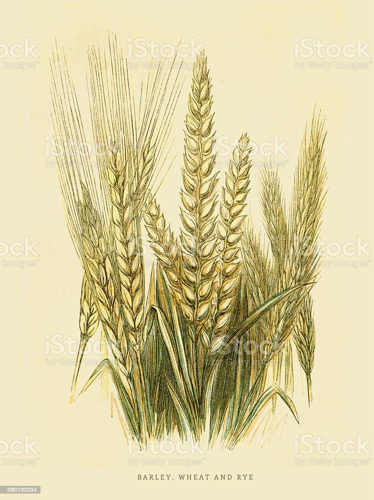 Barley Rye and Wheat illustration 1851 vector art illustration