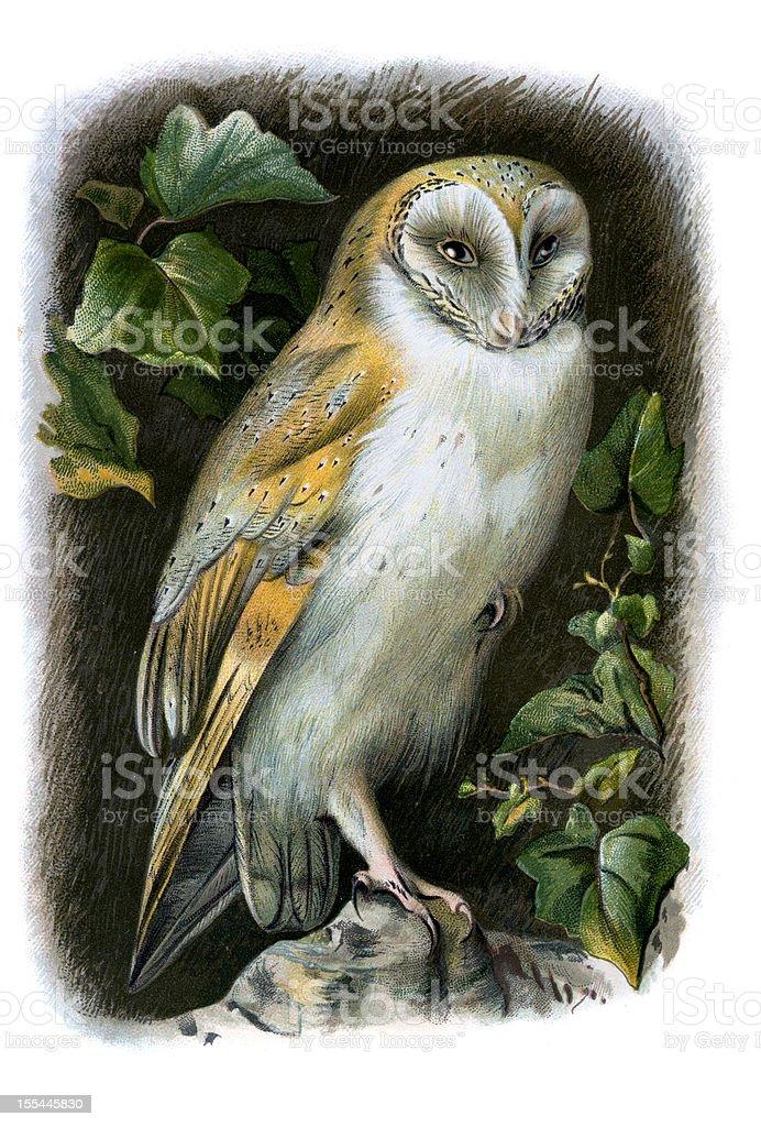 Barn Owl Chromolithograph向量藝術插圖